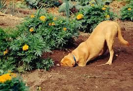 pies podkopuje ogrodzenie